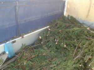 Örökzöld, tuja, diófa, leylandi ciprus, fenyő zöldhulladék elszállítás.
